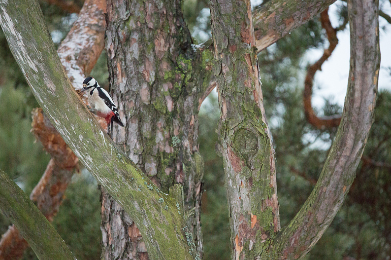 greatspottedwoodpecker