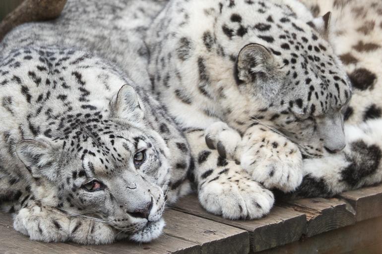 snowleopards-2